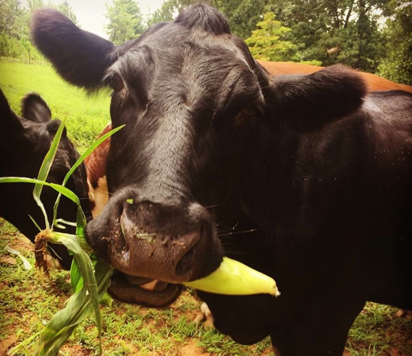 Black Angus Cow Eating Corn