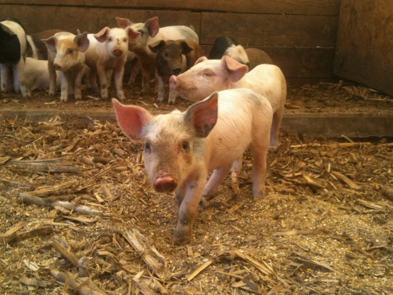 Piglets at Ridgefield Farm
