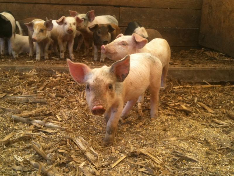 Piglets at Ridgefield Farm